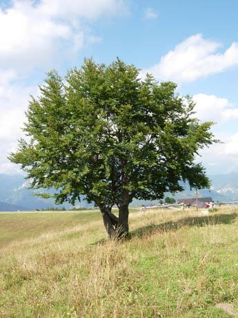 Biodiversipedia licensed for non commercial use only a for Albero per piccolo giardino